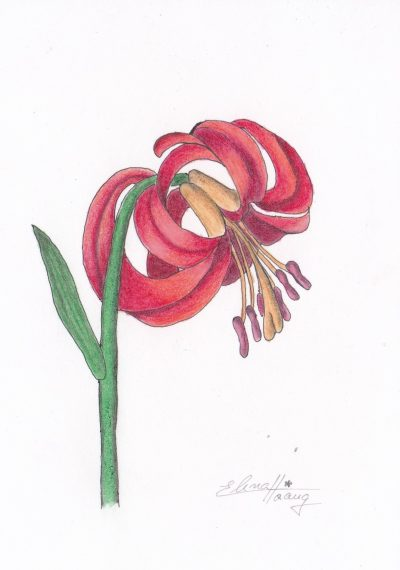 011 - Turban Lily